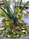 特壮老环球.3苗一发二.4花苞.2大芽