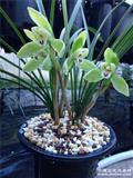 春兰老品种,龙字,带花苞,1发2结构