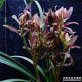 五彩麒麟--带花苞