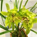 春剑铭品奇花《大唐盛世》3苗2花苞1芽