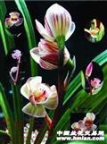莲瓣-药草