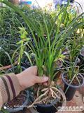 2棵绿兰闻香盆景草!2苗2花