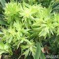 春兰 花开富贵 2苗带3花 B