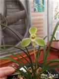 宋梅~老种4苗1芽1花苞