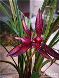 新品春兰红花