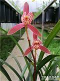 四季兰漂亮色花(下山新品),子母壮苗,带芽