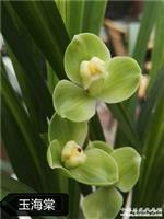2003春剑玉海棠4苗带1个大芽