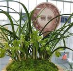 霸王荷素2苗1头3花苞,山土种植