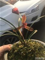 春兰久红两苗以开花