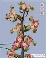 迎新春~分盆苗全�鎏�r:紫砂星