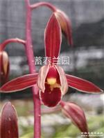 墨兰浓香型色花 中国红 3苗带1花苞0120