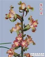 紫砂星(寄养初八发货)1-24