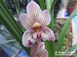 胭脂蝶(带开花)