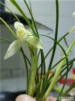 阳台草连瓣细叶荷形素花