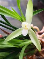 浓香春素10苗带花