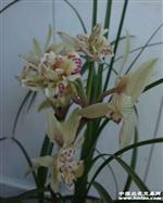 莲瓣锦上添花引种