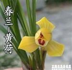 黄荷4(带2花苞)