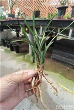 老种翠盖荷6苗2芽