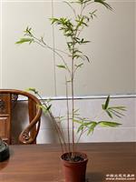 红运竹也叫红观音竹,红寒竹,原盆发货