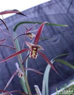 寒兰紫花红舌薇平肩浓香(带花)H-324