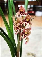 春剑新品~漂亮红蝶带花苞