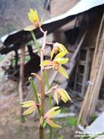 下山蕙兰 色花