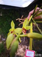 下山蕙兰 瓣型青花