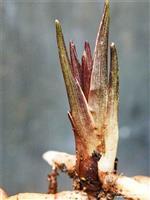 春兰尖型多夹矮种乳奇草