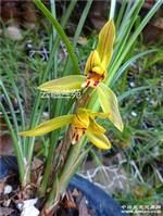 黄花莲瓣 1老桩3大芽