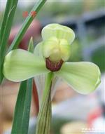 春兰传统水仙名品代表老《汪字》子母2.5壮苗《寄养》