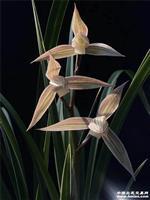 金钗素  母苗带2芽