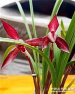 红塔宝石一母苗带隐芽点