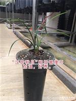 春兰汉宫秋月2苗1小米芽(阳台养)