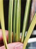 蕙兰木纹草质多道丝综合艺二代苗
