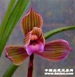 春剑 红素荷 3苗1大芽1小芽(引种苗)