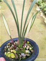 建蘭(高山春色)1苗2大芽