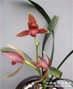 红福素 带花