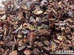 包邮:刺栎树叶一袋20斤(赠送小白药呋虫胺一瓶50克)