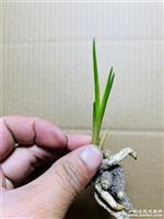 惠兰,叶形草,荷瓣扣头,资源草