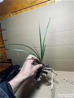 惠兰,木纹皮草,资源草