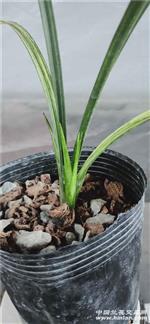 蕙兰黄金虎斑,1苗1芽