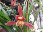 秋芝-胭脂红(好苗)