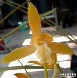 A蕙兰精品瓣型黄素,2苗