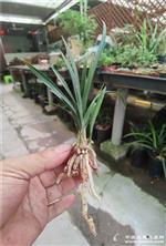 老种翠盖荷3苗2大芽