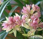 兰花,富山奇蝶6苗带5花苞,发韵达快递