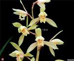 荷型转色黄花,特壮苗带花苞(1)