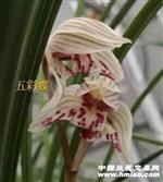 五彩蝶(10个头带大芽)