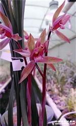 春剑中国红素特壮3苗带1花苞
