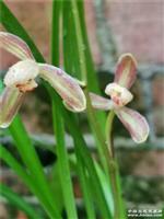 自然养殖四季兰红花梅瓣