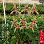 20苗9花宝岛仙女,浓香型蝶花,勤芽勤花